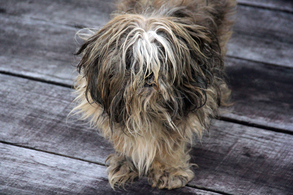 dog with dry and brittle coat