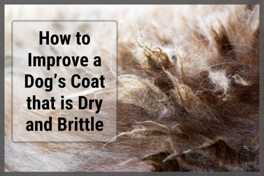 Close up of dog's dry and brittle coat