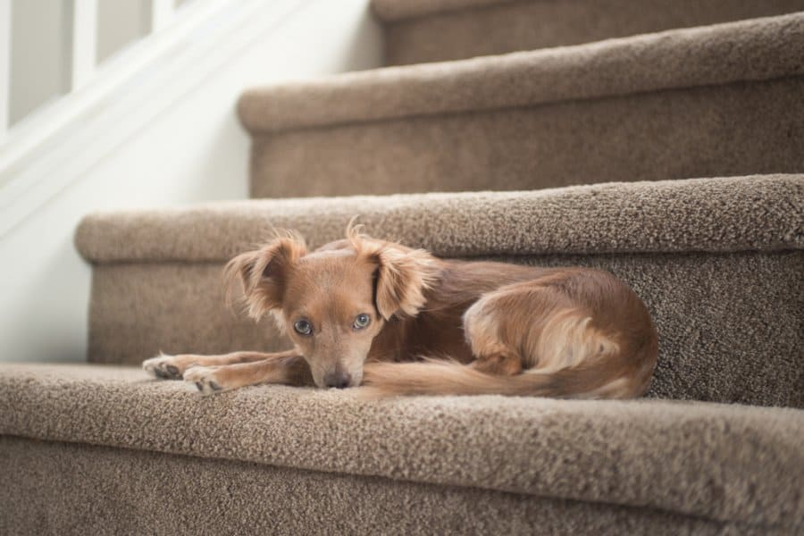 small dog sitting on stairs in pain