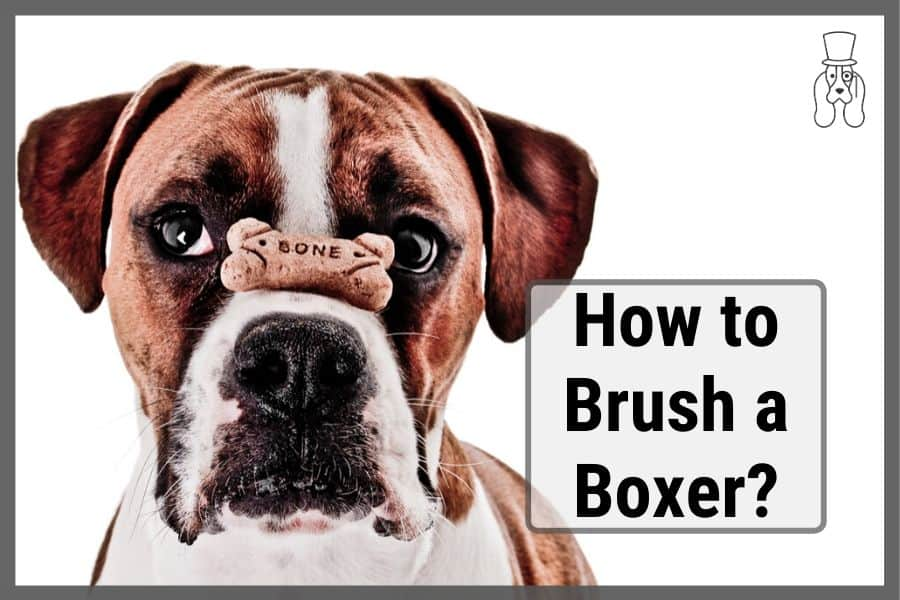 boxer dog with dog treat on their nose