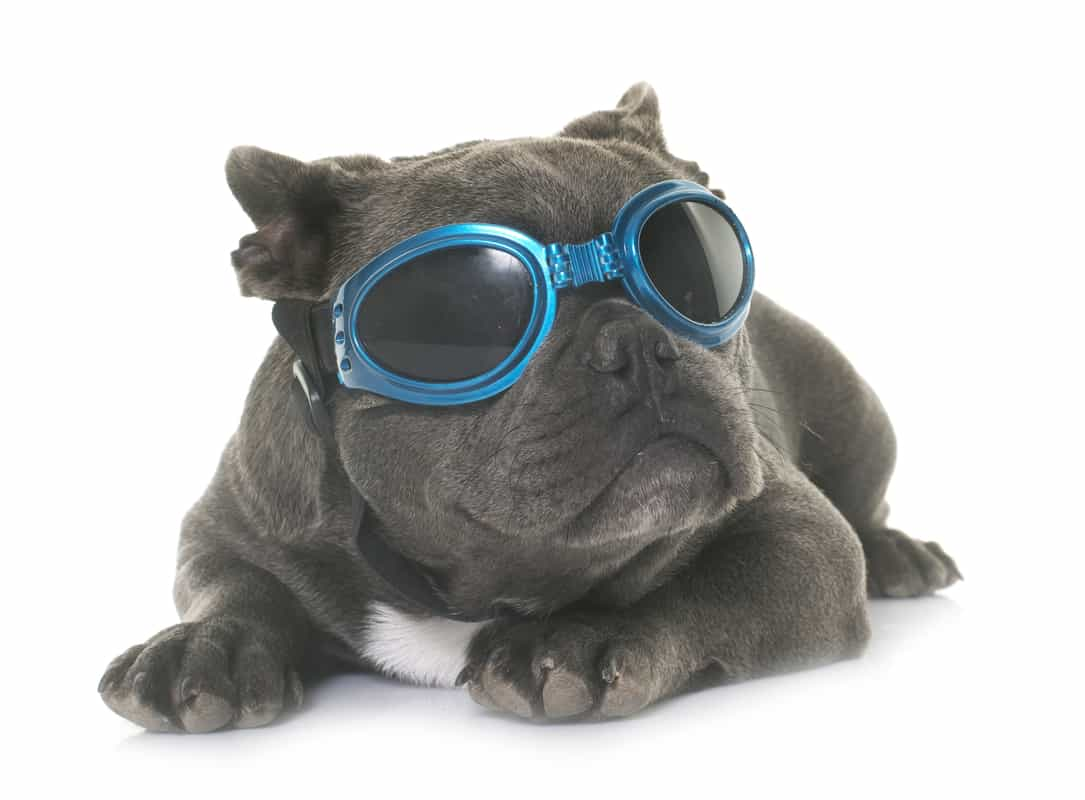 Blue French Bulldogs | Everything You Need To Know
