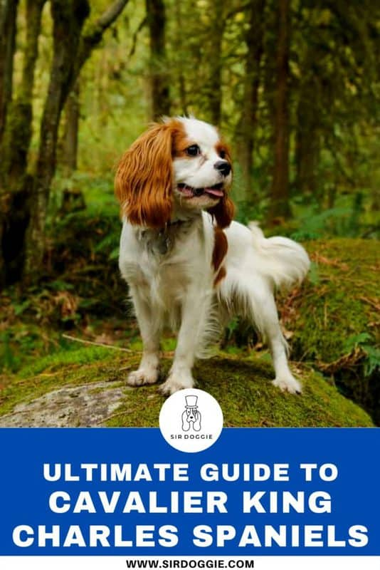 The ultimate guide to the cavalier king charles spaniel