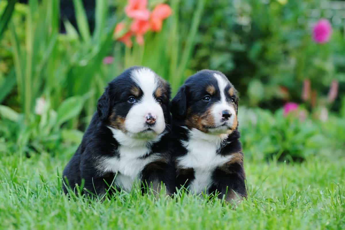 mini bernese mountain dog puppies side by side on the grass
