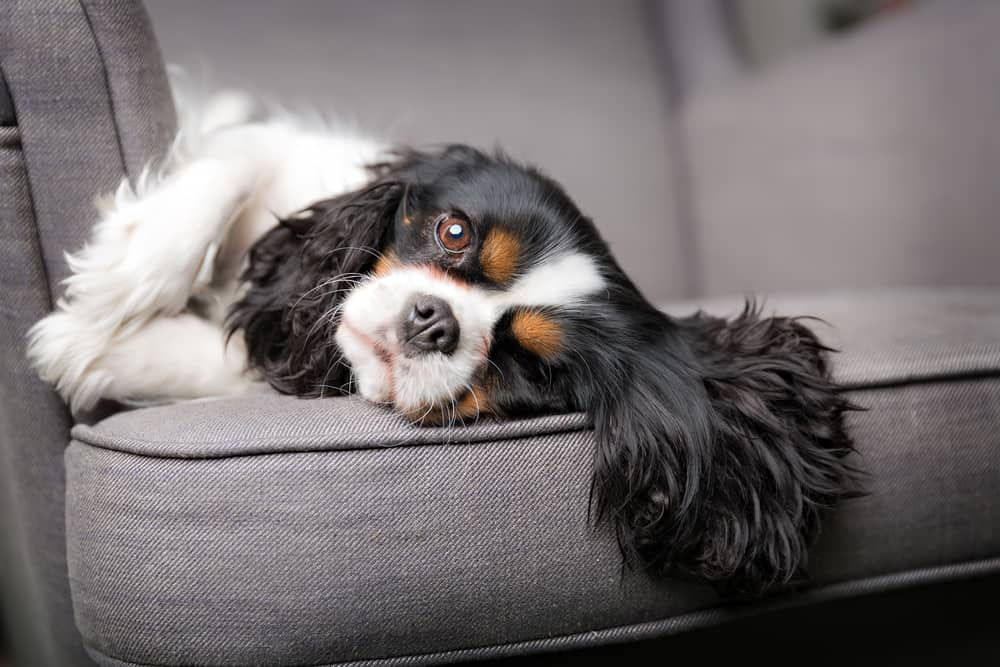 Cavalier King Charles Spaniel snoozing on couch