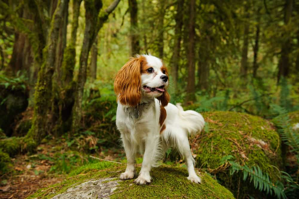 Cavalier King Charles Spaniel posing in scenic forest on a rock