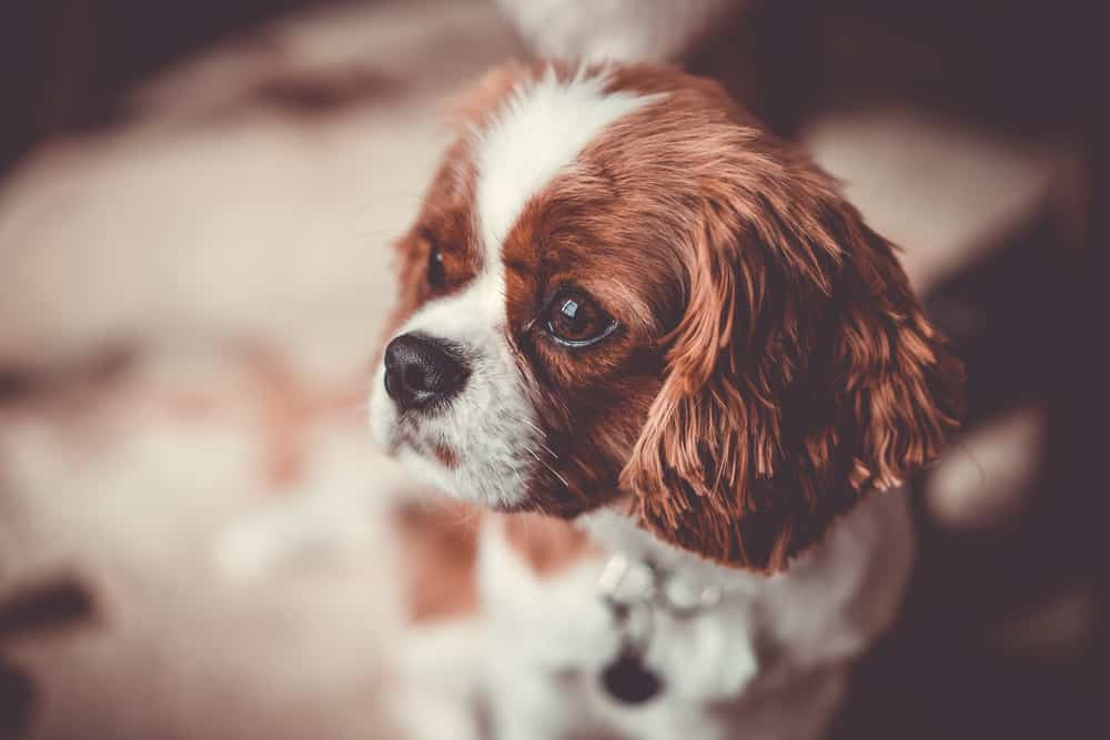 Cavalier King Charles Spaniel puppy staring into distance