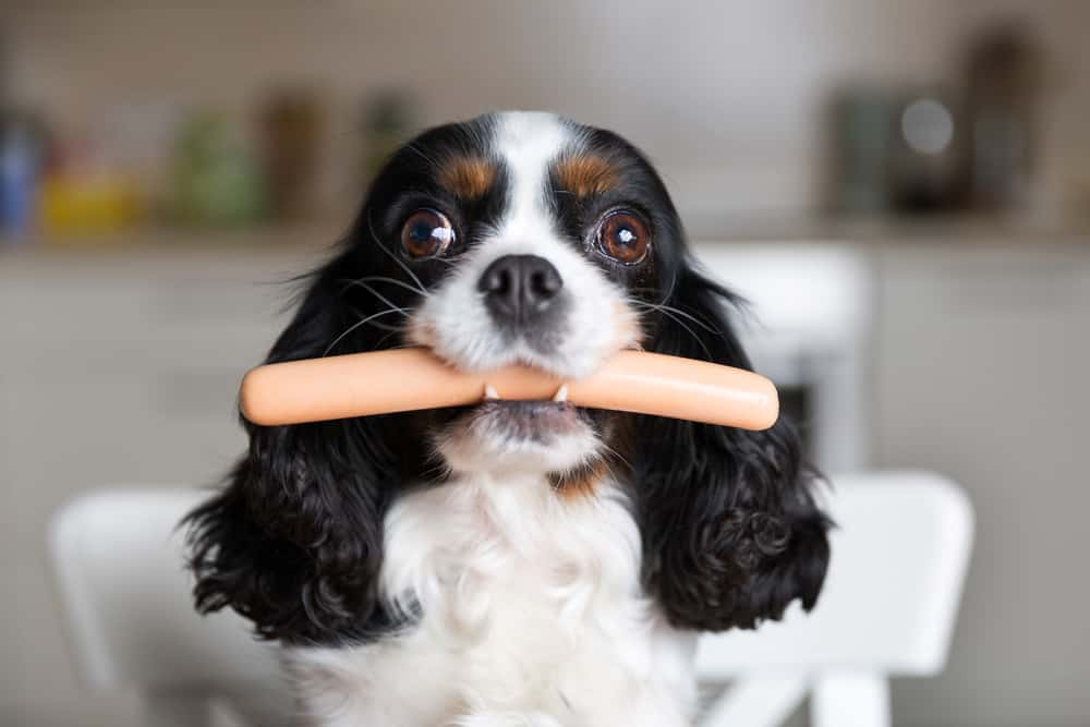 Cavalier King Charles Spaniel eating a hotdog with eyes wide open