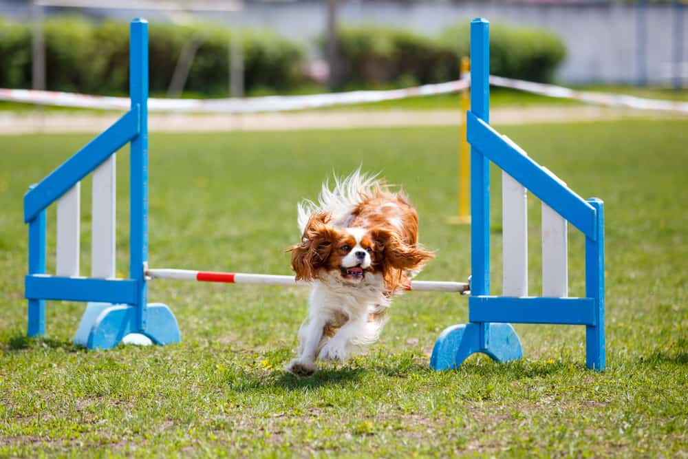 Cavalier King Charles Spaniel running in an obstacle course