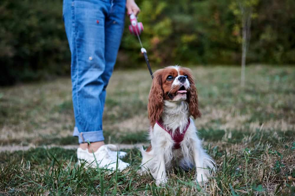 Cavalier King Charles Spaniel on leash sitting on grass out for a walk