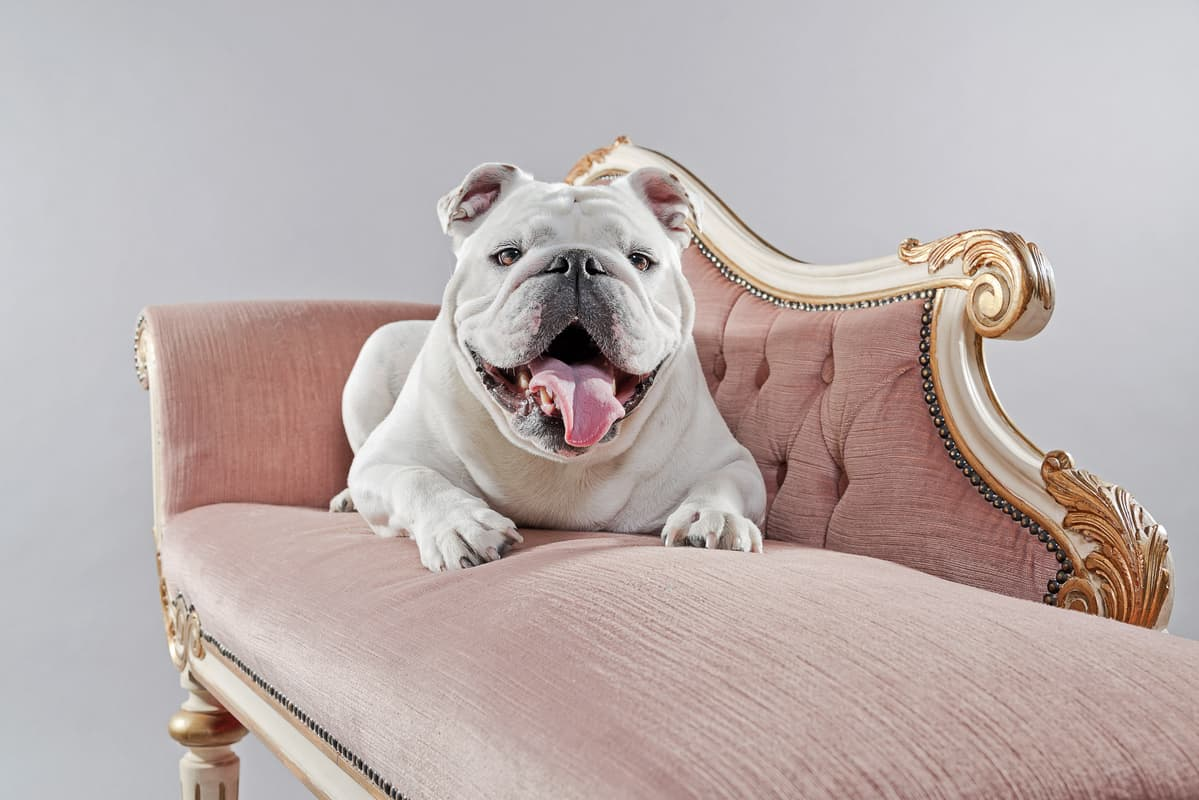 White English Bulldog  | The Best Bulldog Out There?