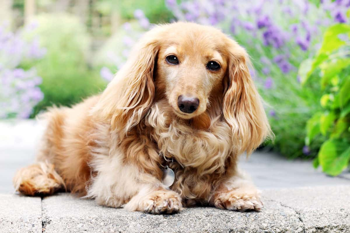 English Cream Dachshund: The Ultimate Guide