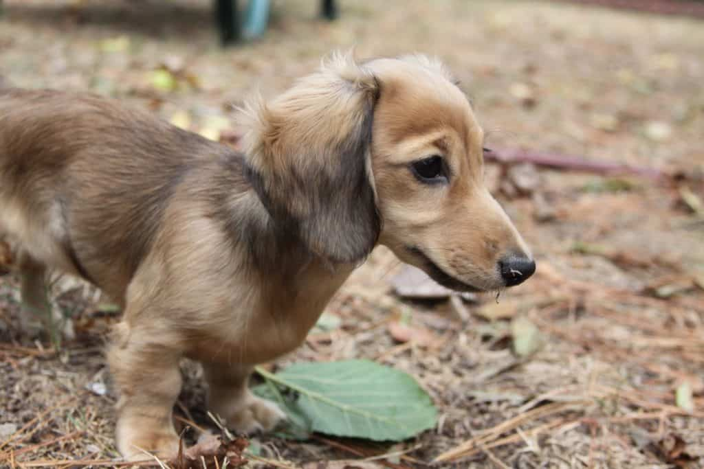English Cream Dachshund on ground looking into distance