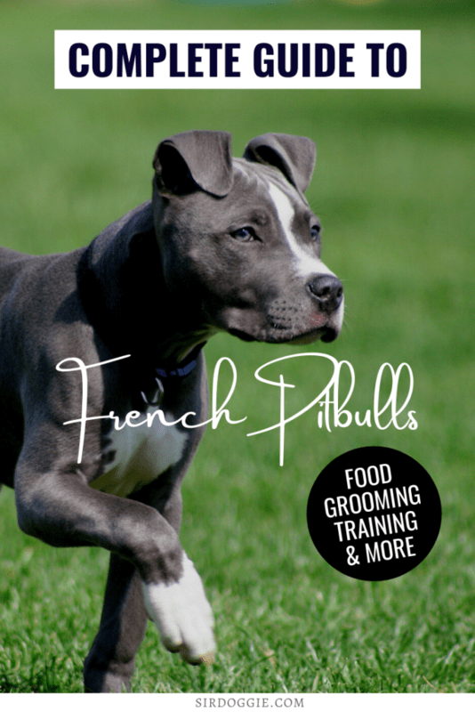 French Pitbull complete dog breed guide