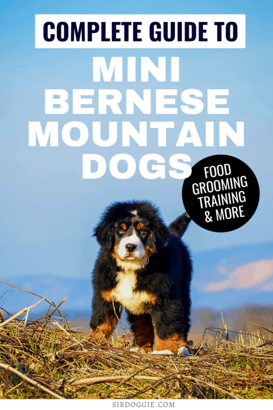 Thumbnail Picture for a guide to mini bernese mountain dogs with picture and text