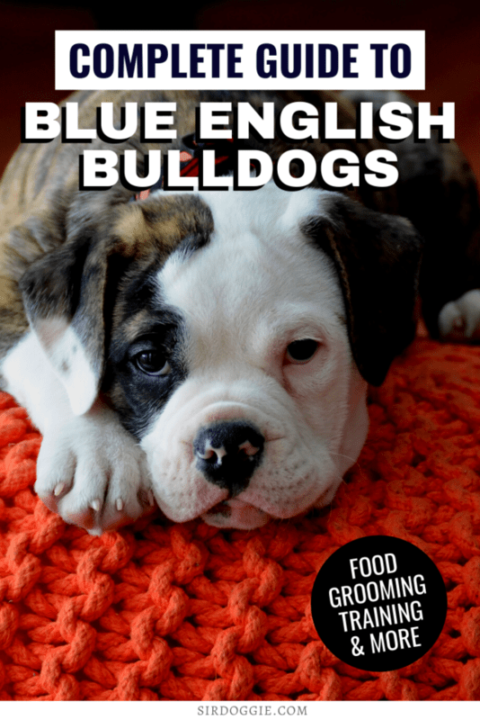 Info thumbnail for blue english bulldogs, with a blue english bulldog resting its head on a red carpet