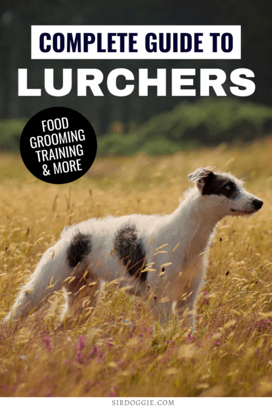 complete guide to lurchers dog breed