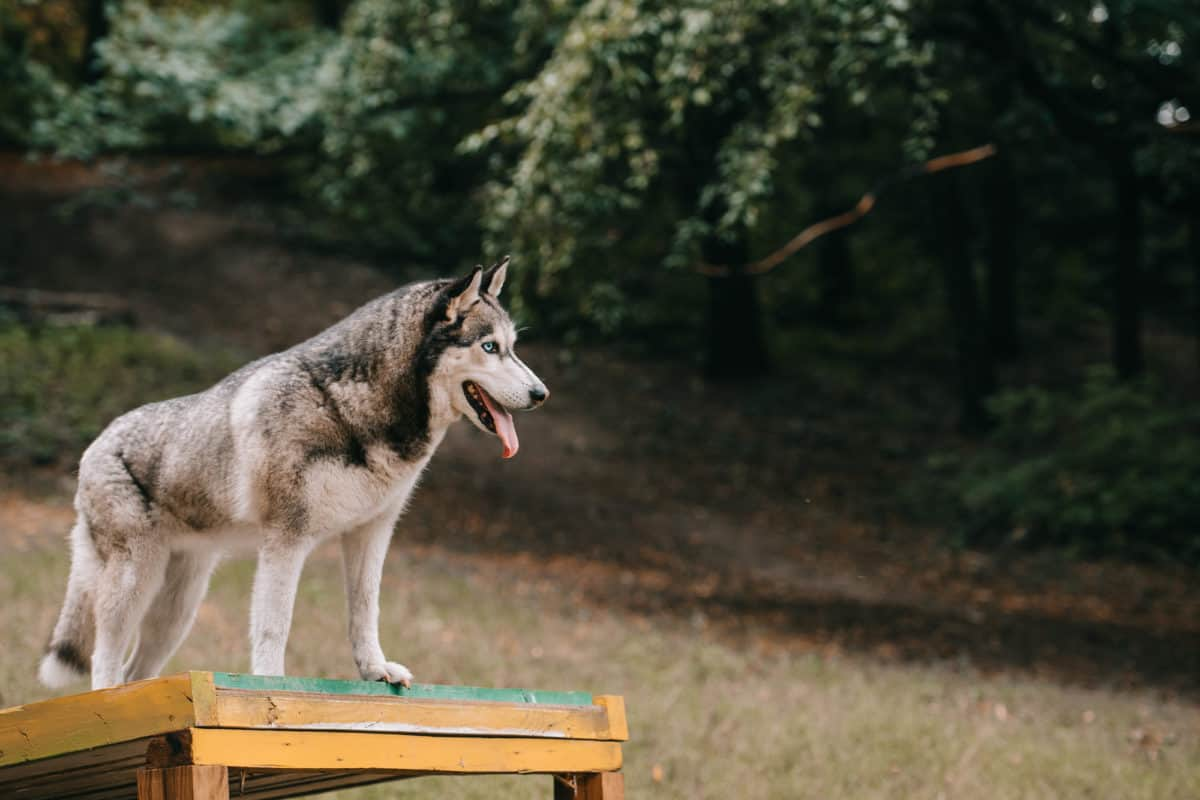 Husky dog with log thick coat getting ready to shed for Spring time