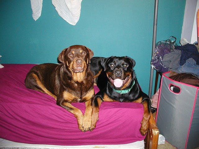 Red rottweiler laying on bed