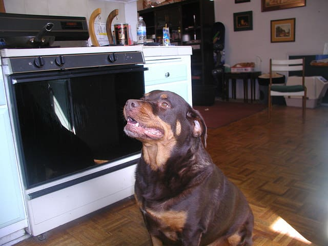 Red rottweiler sitting in kitchen waiting for food