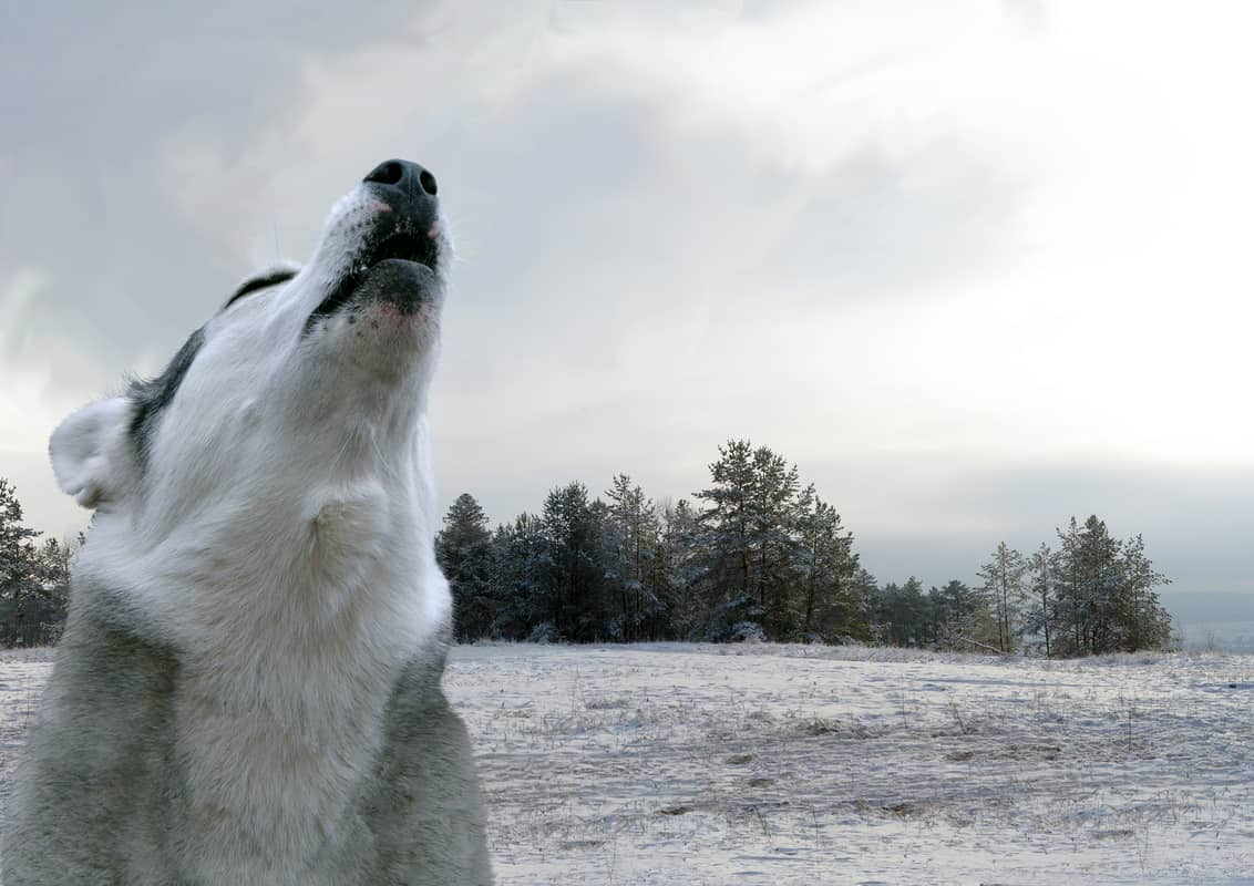 Why Do Huskies Howl and What Does It Mean?