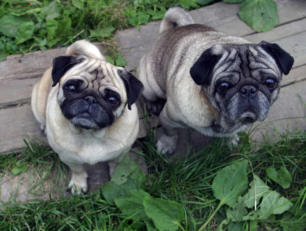 Are Pugs Hypoallergenic? Pugs and Allergies Guide
