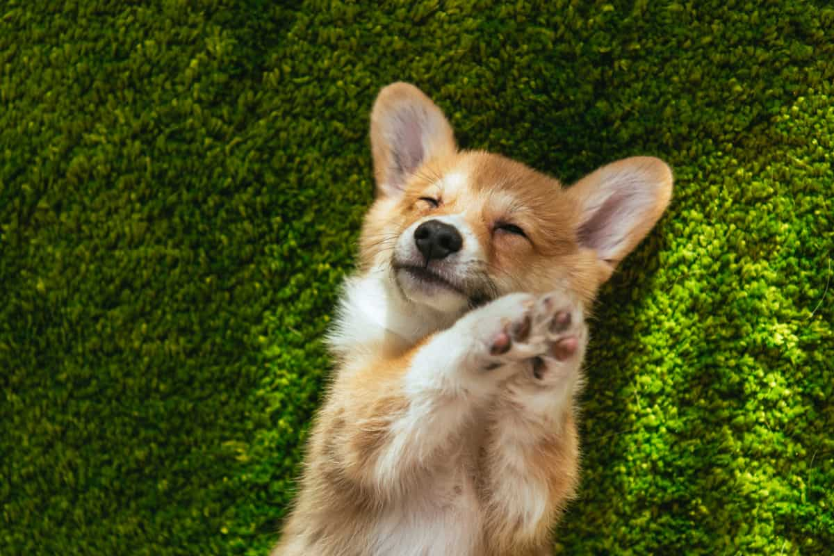 Corgi dog breed laying on grass with paws up and eyes closed