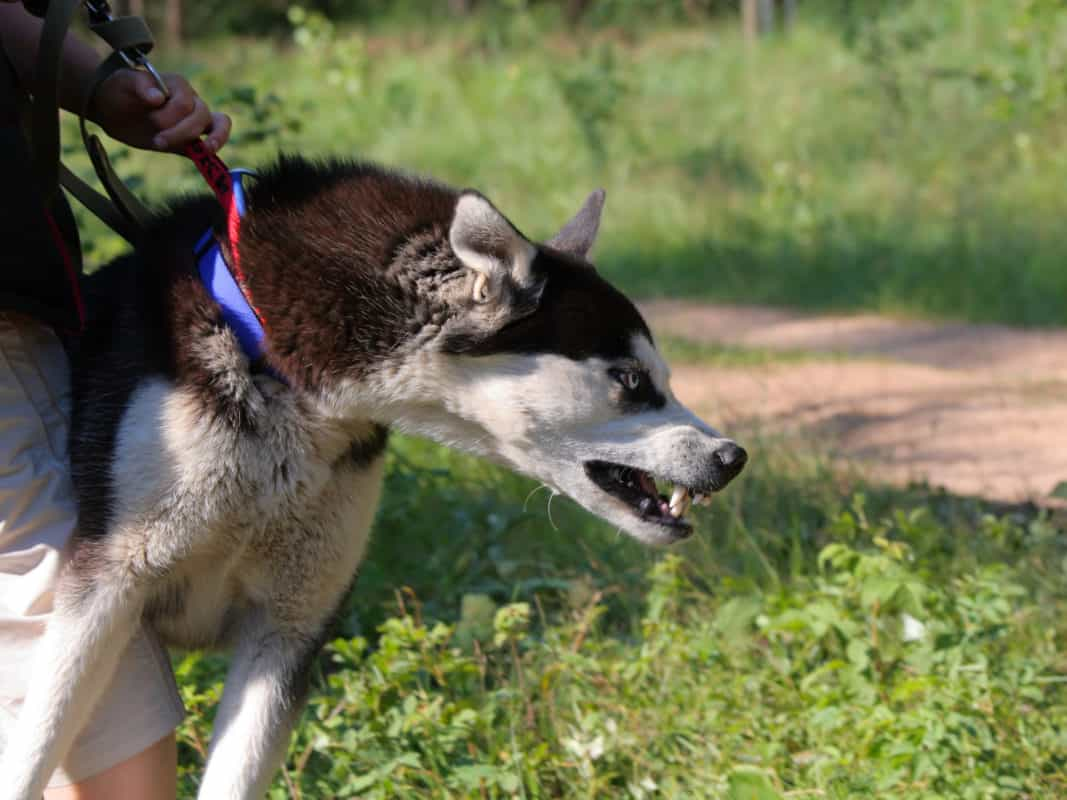 Angry Husky tries to attack somebody. The dog is kept by its owner.