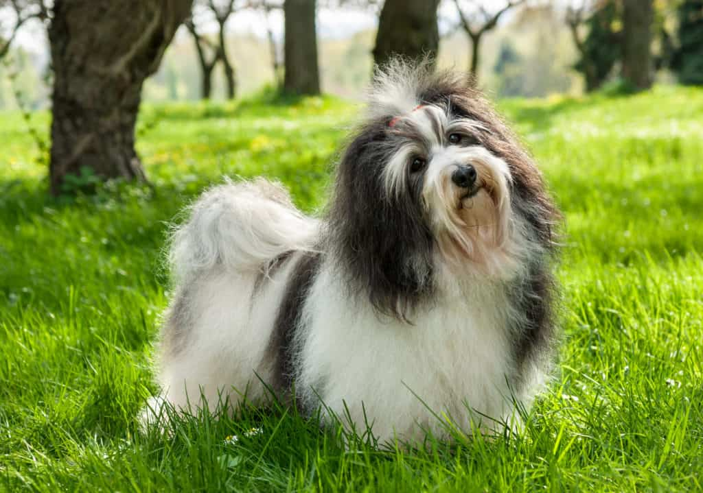 Cute Havanese dog is standing in a beautiful sunny grassy field