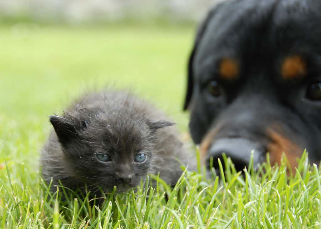 Rottweilers being good with a cat on the grass, but staring at it closely.