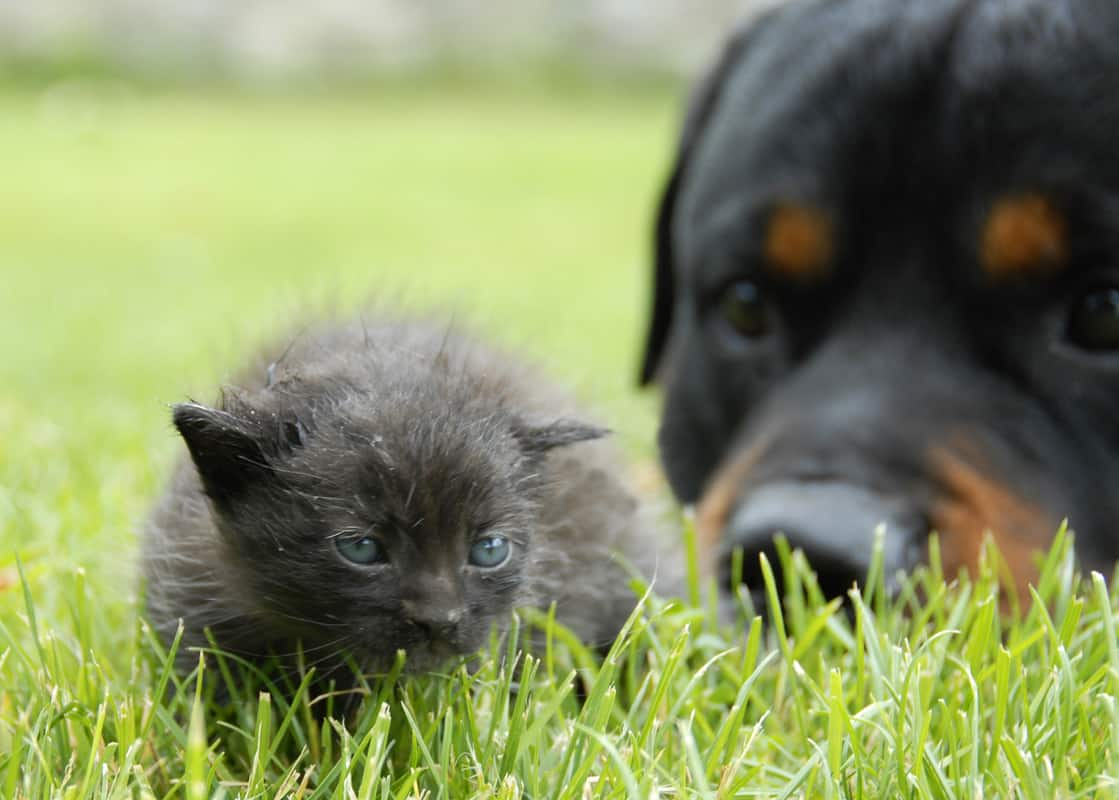 Are Rottweilers Good With Cats? 5 Socialization Tips!