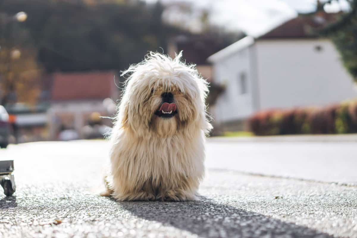Korean dog standing in road with lots of hair covering its eyes