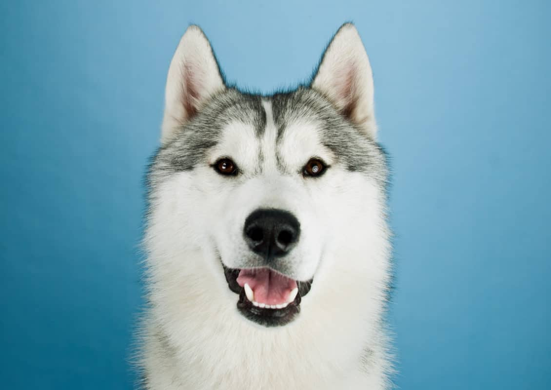 Growing Husky dog in studio on a blue background