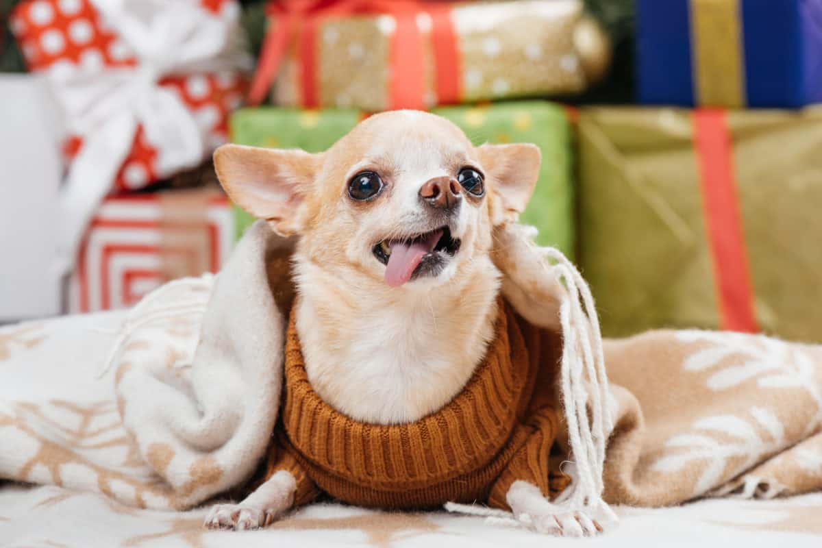 Chihuahua sticking out tongue not looking smart