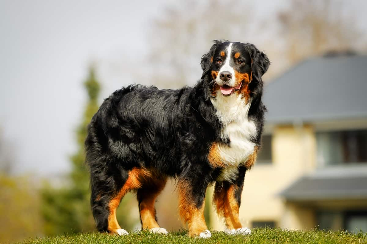 Best Brush for Grooming A Bernese Mountain Dog