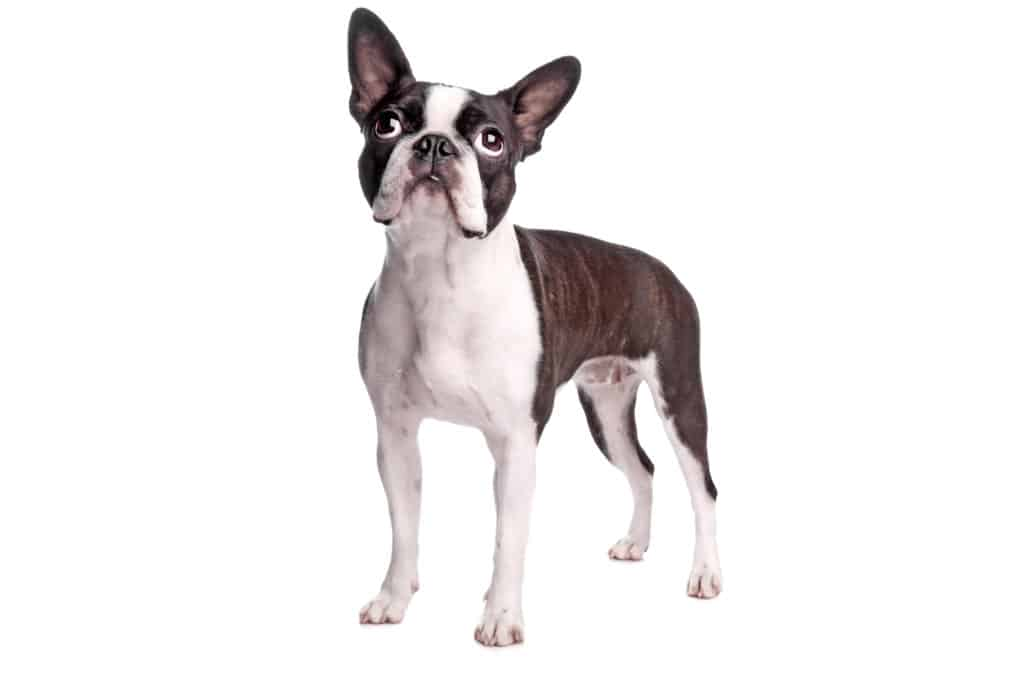 boston terrier posing for photo looking up with white background