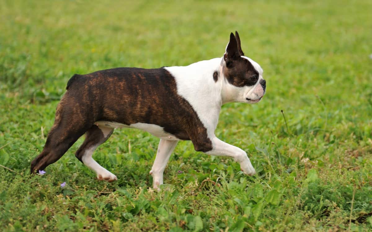 Are Boston Terriers Hypoallergenic? Find Out Here!
