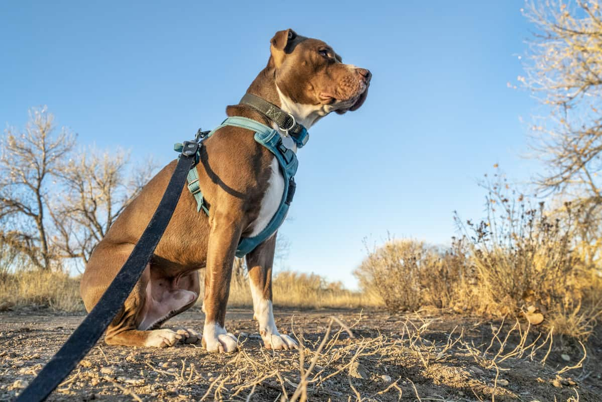 5 Chew Proof Dog Harnesses That Will Last