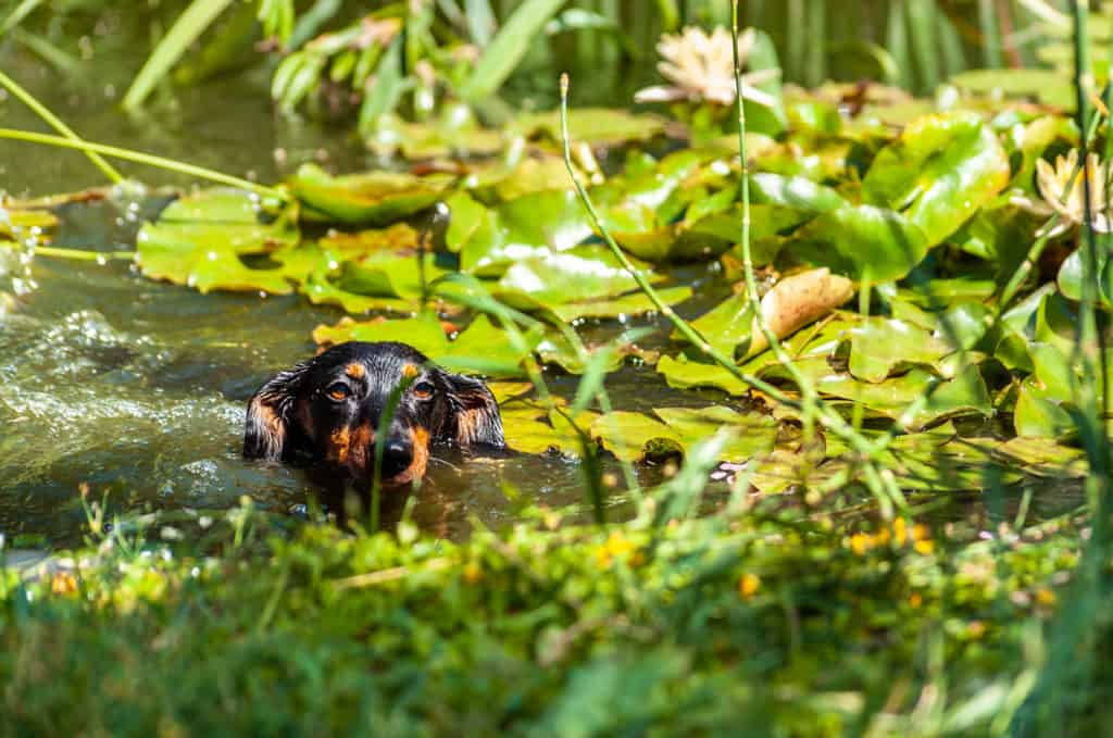 Brave black wet dachshund dog swims and crossing garden pond with water lilies