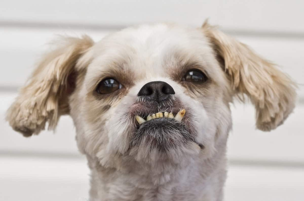 close up of dogs teeth chattering