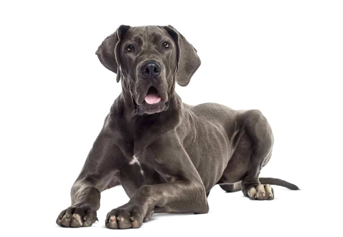 Great Dane Rottweiler Mix, a Weiler Dane posing for picture
