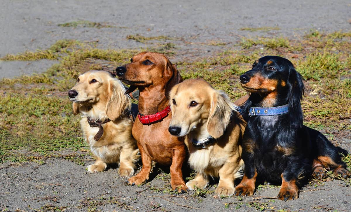 Group of four Dachshunds sitting together looking to the side.