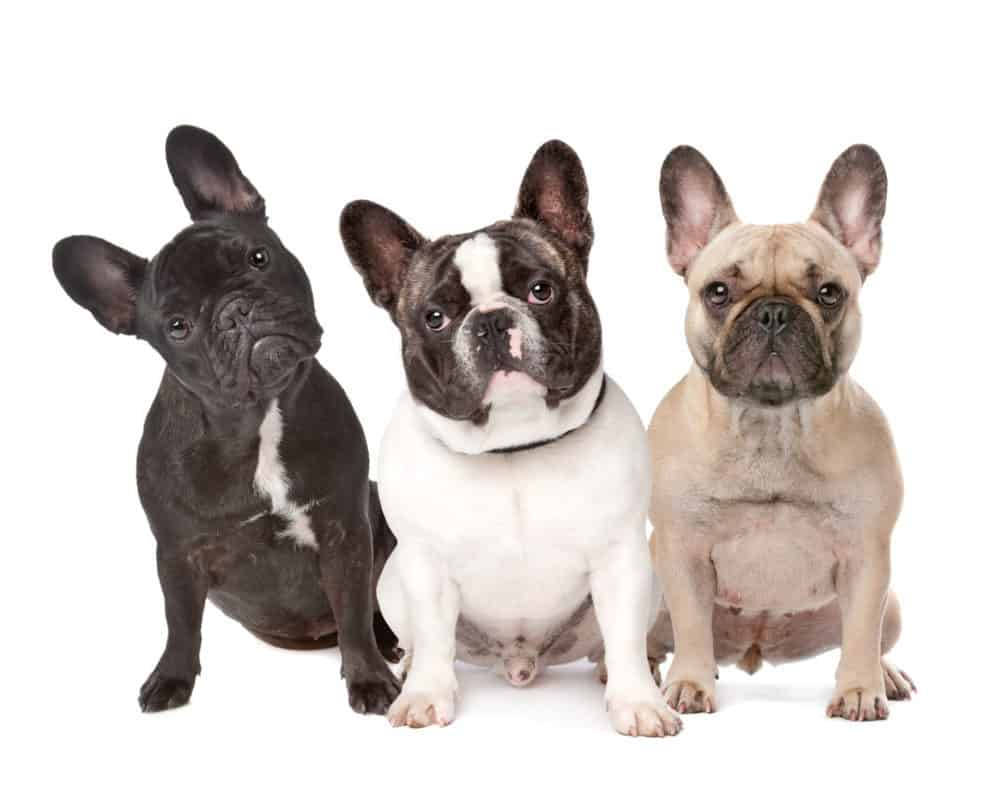 three French Bulldogs in a row on a white background