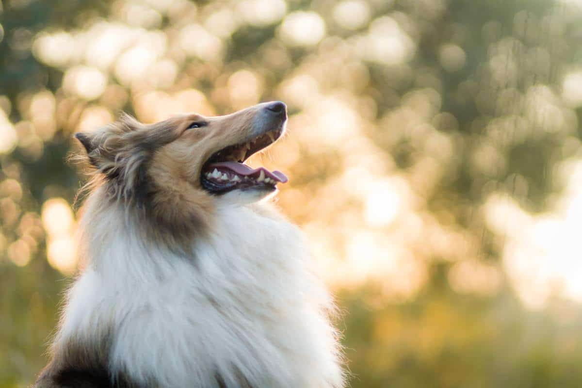 Best Food for Rough Collies With Sensitivities