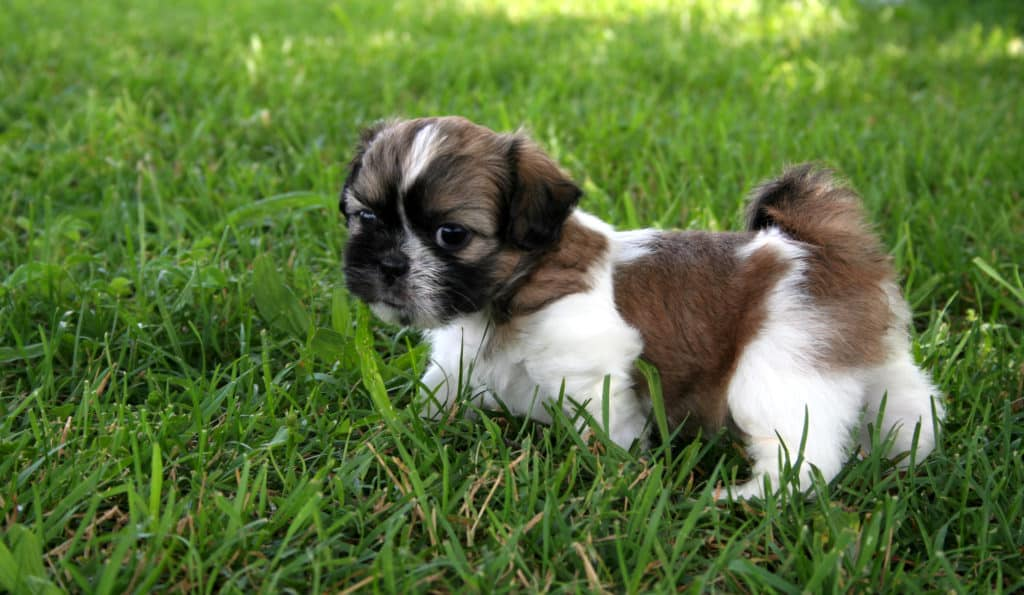 Shih Tzu puppy playing outside and surrounded by grass.  Room for text.