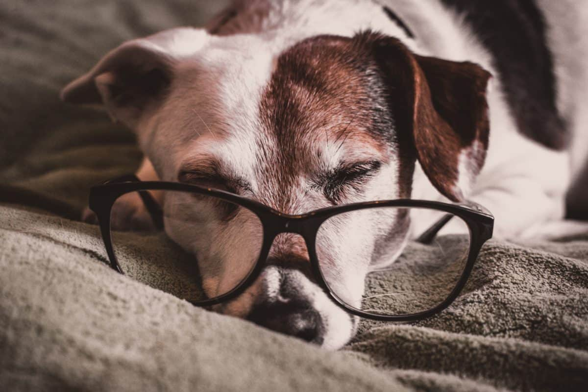 Old dog asleep on blanket with glasses placed in front of eyes