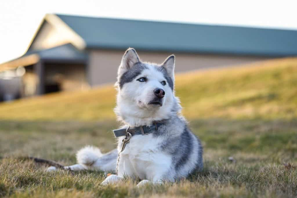 Husky dog sitting on grass hill looking into the distance