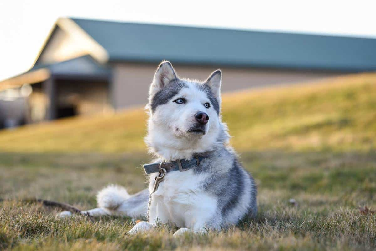 How Much Does A Husky Cost? Husky Prices Examined