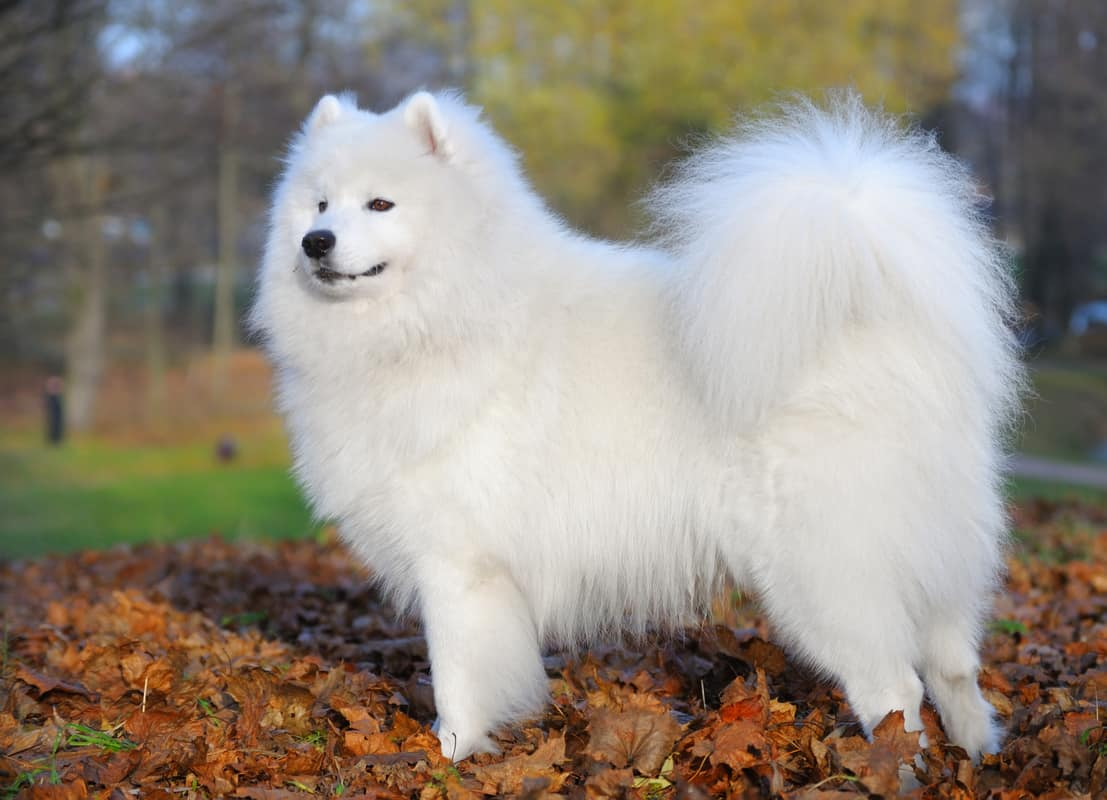 Why Are Some Samoyeds Fluffier Than Others?