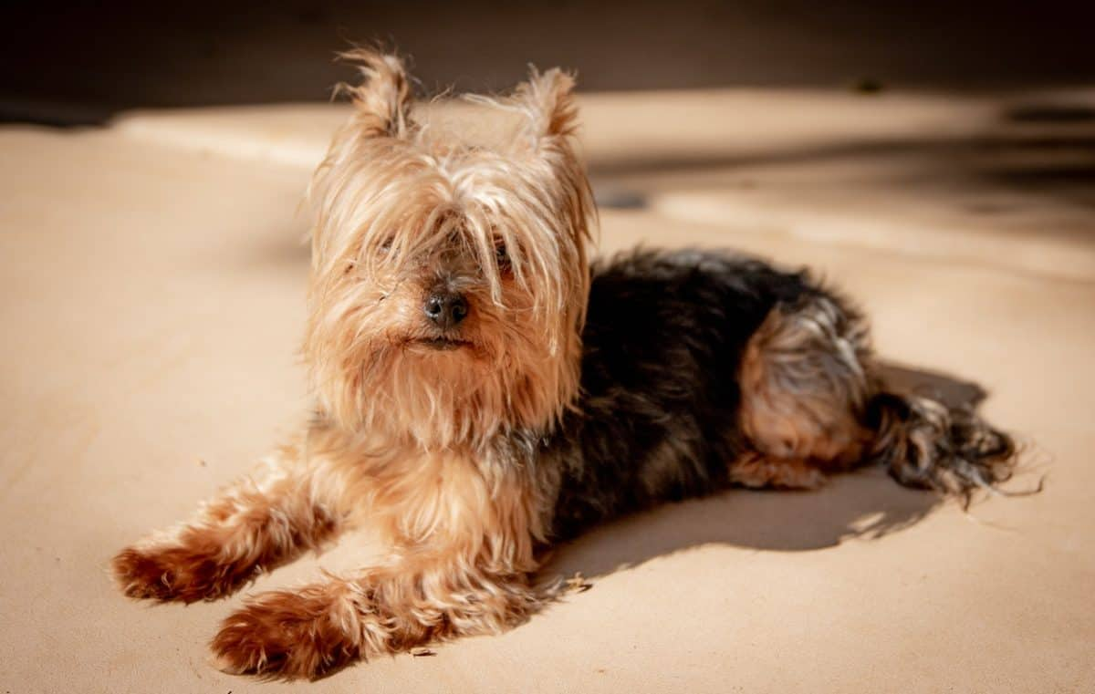 Yorkie dog sitting on ground with hair covering eyes