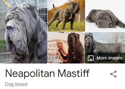 neapolitan mastiff dog breed information